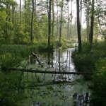 La forêt de Bialowieza
