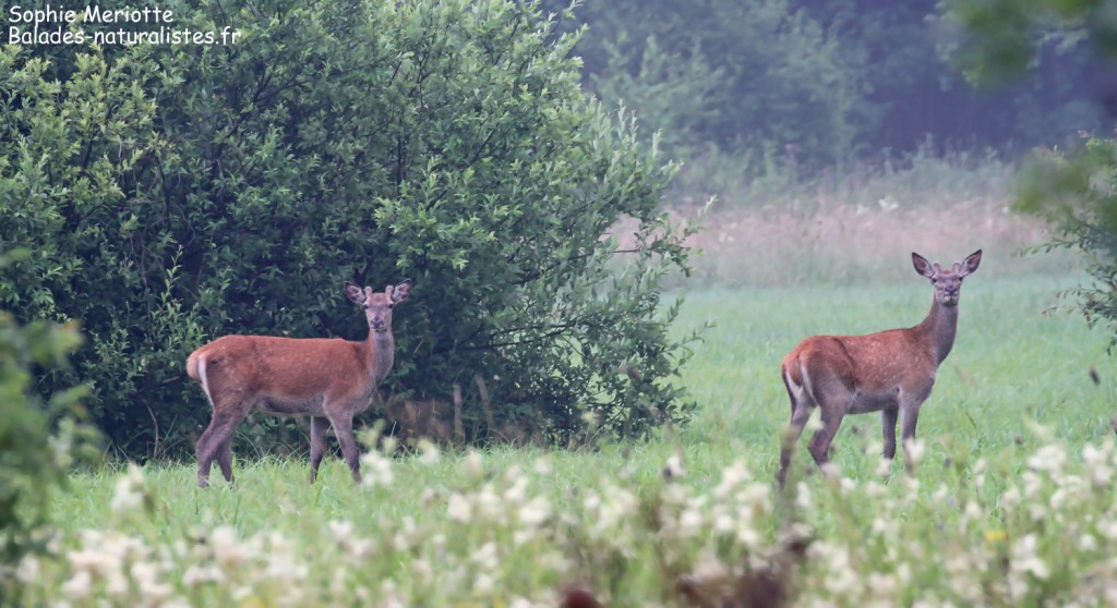 Jeunes cerfs près de Teremiski