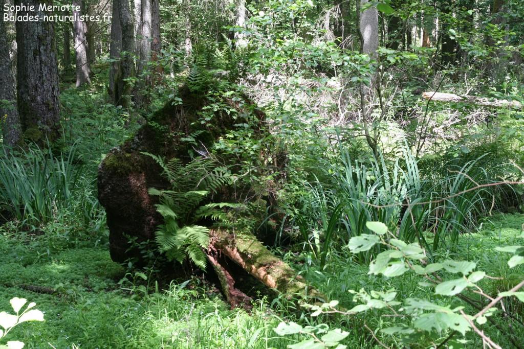 Les arbres morts sont essentiels dans la régénération de la forêt