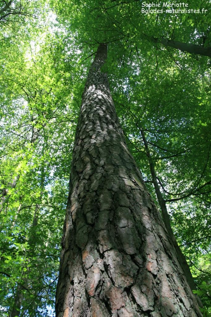 Le pin sylvestre : une espèce pionnière