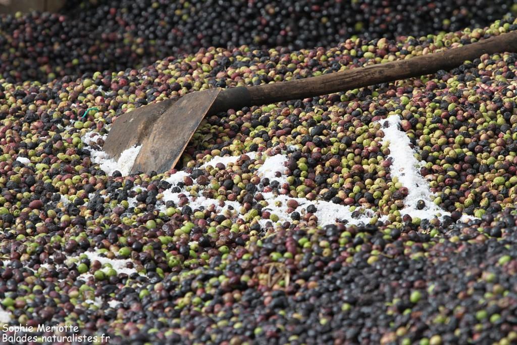 Olives sur la route en direction de Had Touabet