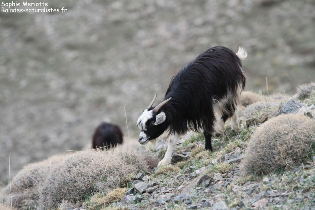 Chèvres sur le Mont Oukaimden