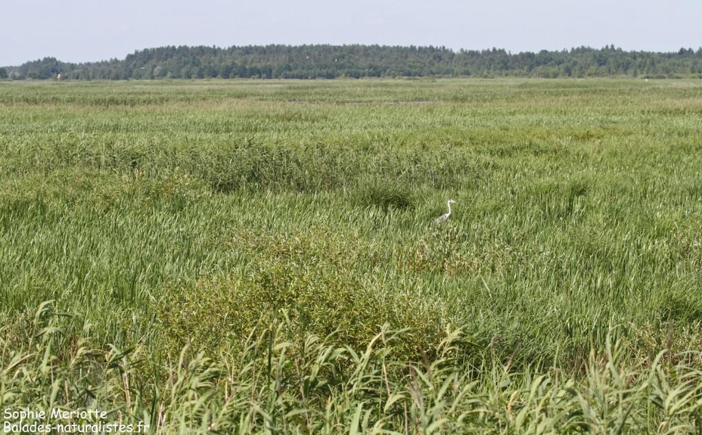 Héron centré dissimulé dans la végétation du Lac de Siemianowka