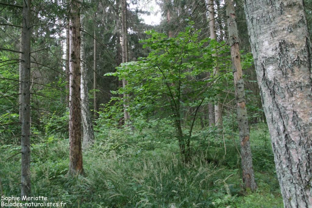 Forêt près du lac de Topilo