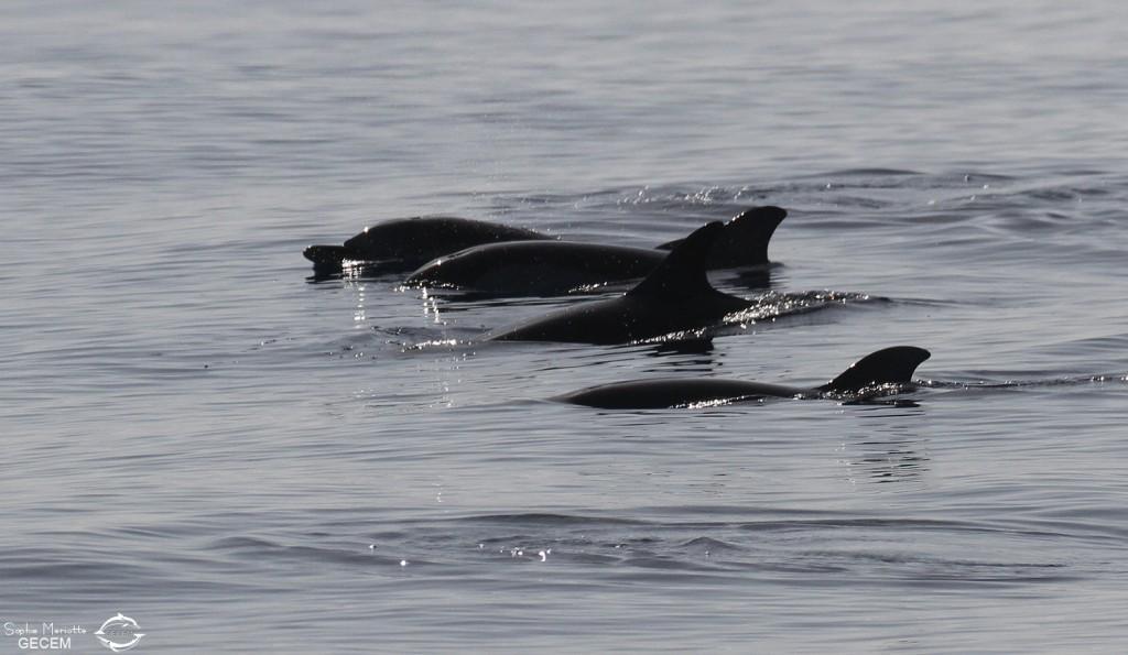 Groupe de dauphin bleu et blanc au large de Marseille