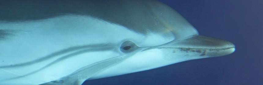 Dauphins bleu et blanc à l'étrave du voilier
