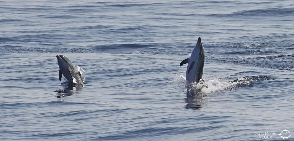 Dauphin bleu et blanc sautant à l'arrière du bateau, Sortie DDV du 15/10/2017