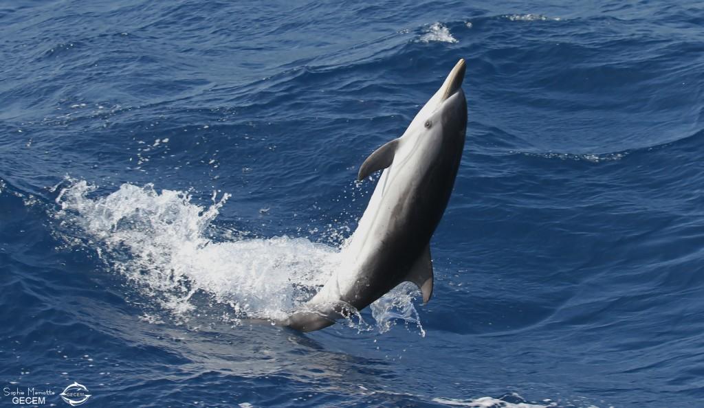 Dauphin bleu et blanc jouant dans les vagues