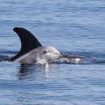 Sortie en mer du 5 septembre : des dauphins de Risso au programme !