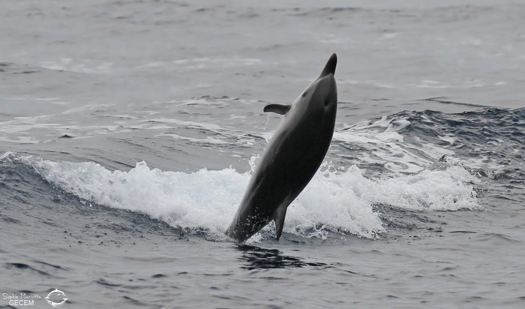 Festival de dauphin bleu et blanc dans les vagues arrières