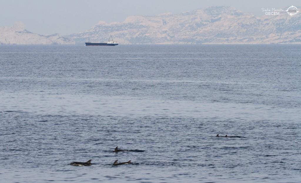 Groupe de dauphins bleu et blanc, femelles et jeunes