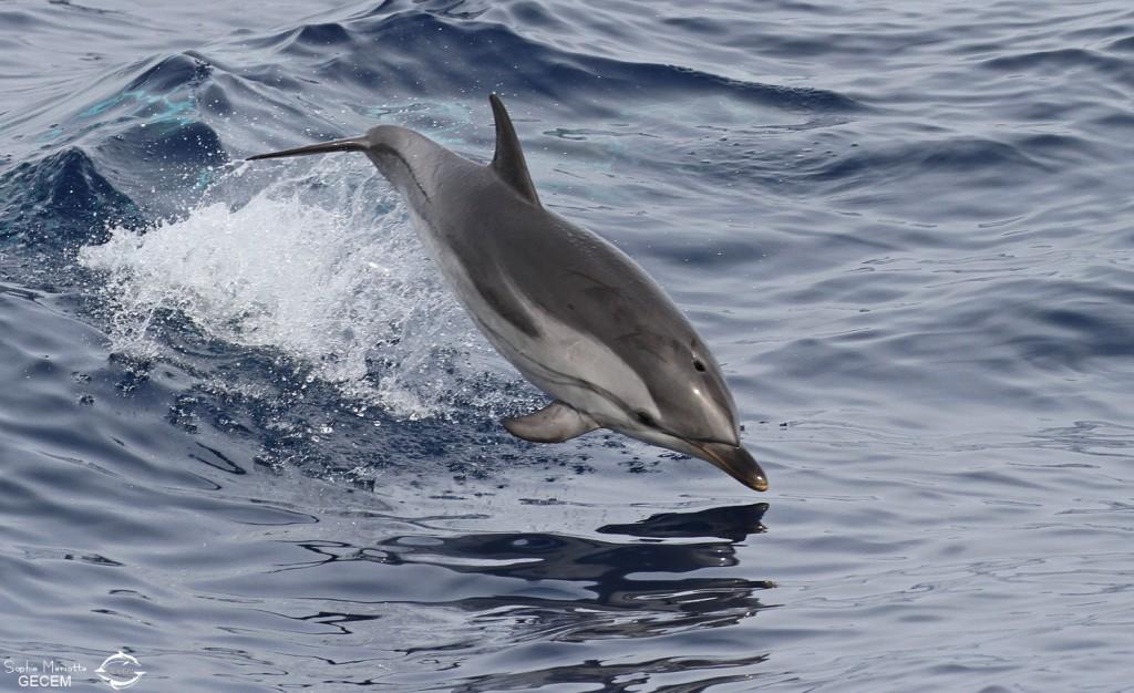 Dauphin bleu et blanc approchant le navire