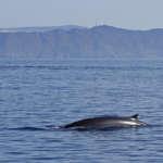 Sortie d'observation des baleines et des dauphins au large de Sanary