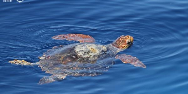 Sortie d'observation des baleines et des dauphins : baleines, risso, dauphins, tortue … la totale !