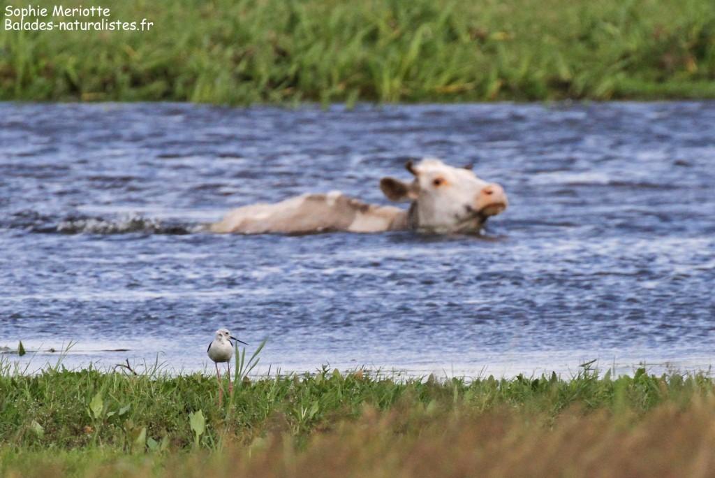 Vaches traversant la Biebrza à Brzostowo