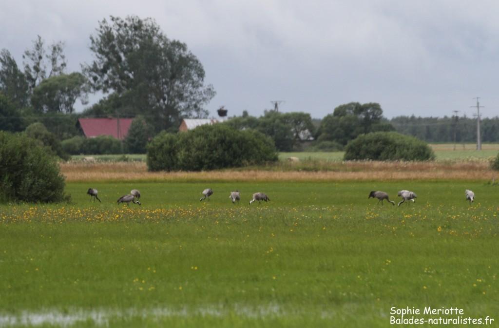 Groupe de grues cendrées au bord de la piste de Dolistowo