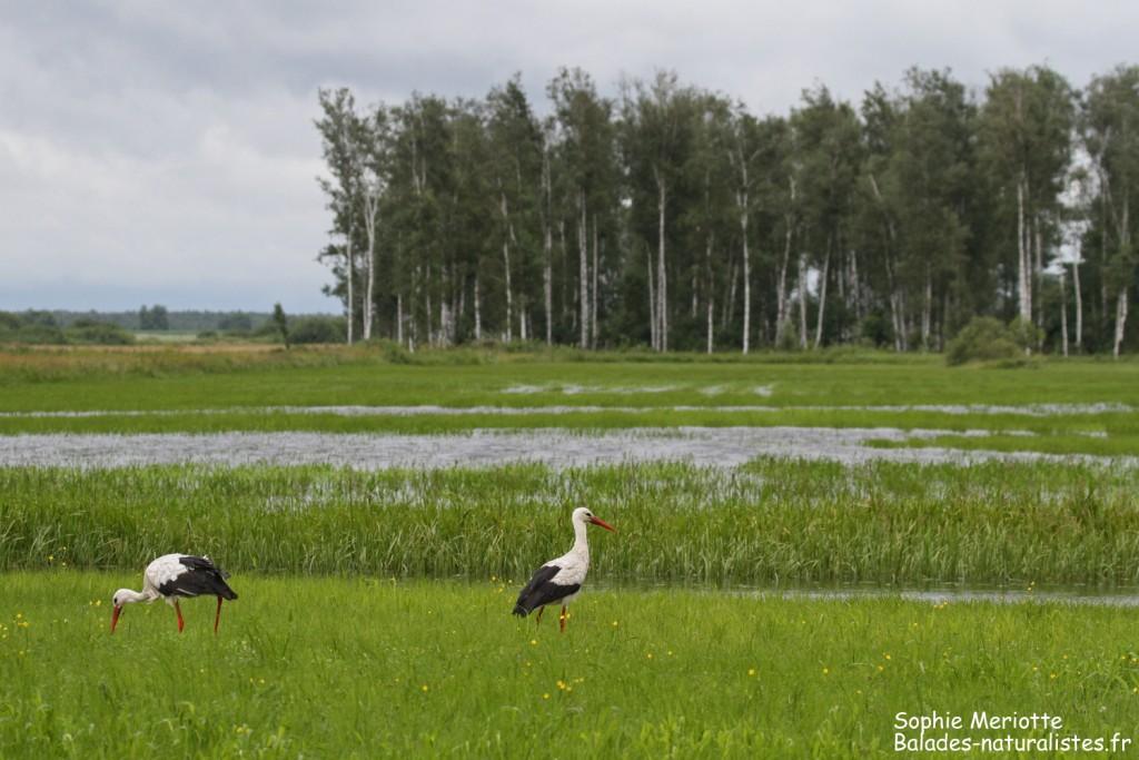 Cigognes blanches s'alimentant dans les prairies humides le long de la piste de Dolistowo