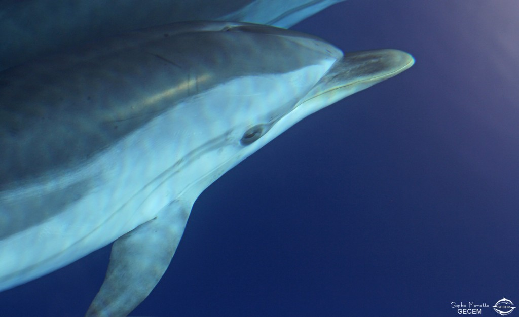dauphin-bleu-blanc-marseille-calanque