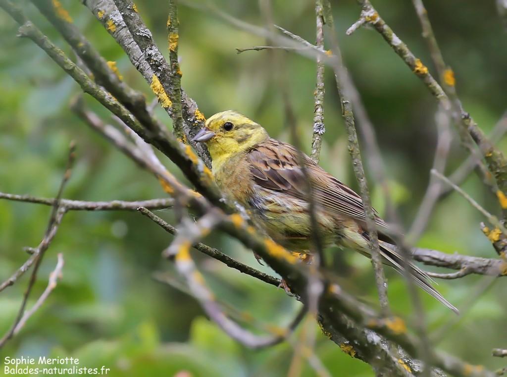 Bruant jaune, sentier au départ de Barwik, Parc national de Biebrza