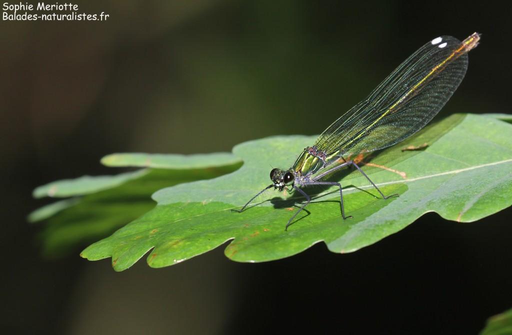Caloptéryx vierge, sentier au départ de Barwik, Parc national de Biebrza