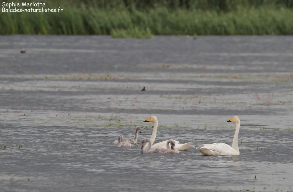 Famille de cygne chanteur sous la pluie dans la Pisciculture de Knyszyn Zamek