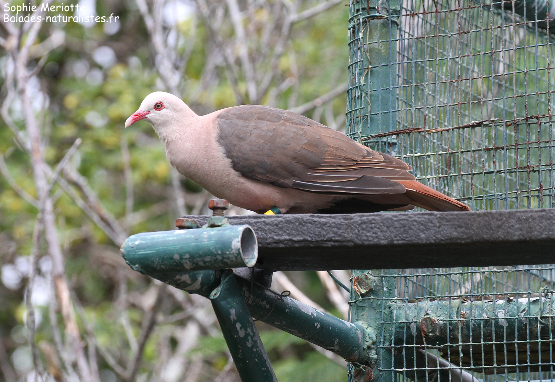 Pigeon rose perché sur la volière