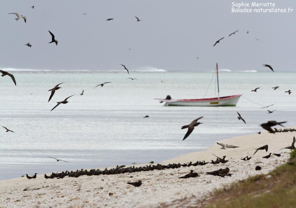 Groupes de noddis sur l'Ile aux cocos, Rodrigues