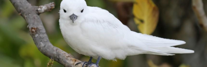 Gygis blanche, Ile aux cocos, Rodrigues