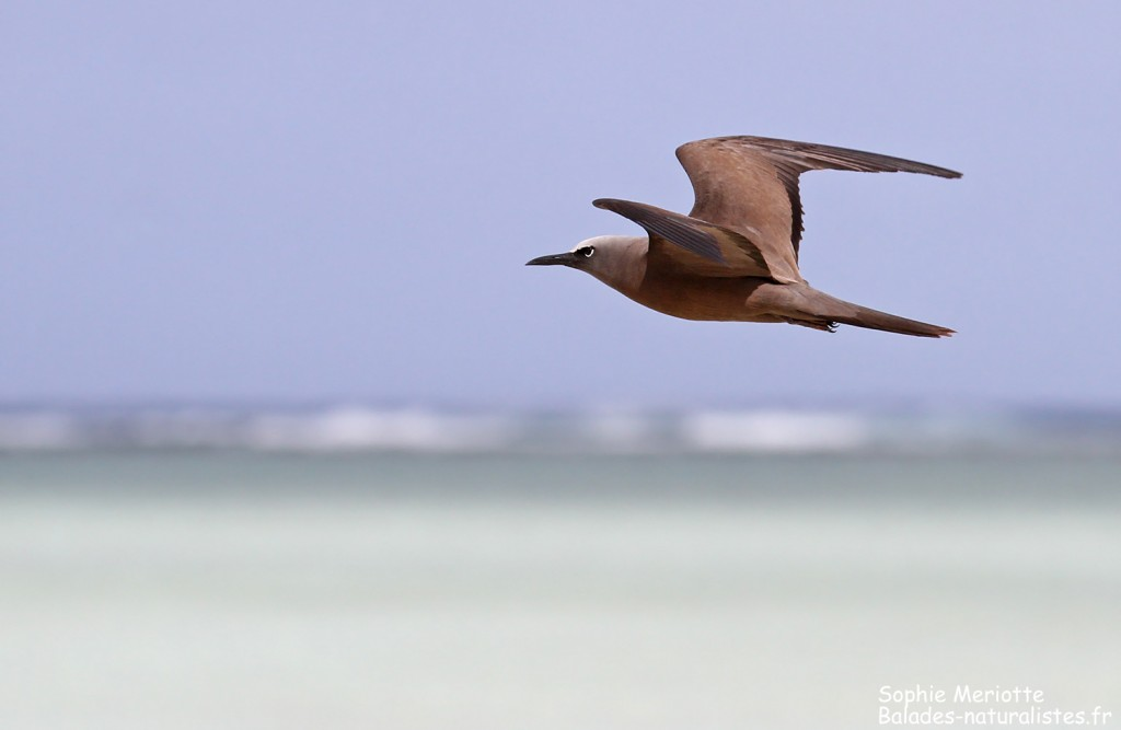 Noddi brun, Ile aux Cocos, Rodrigues
