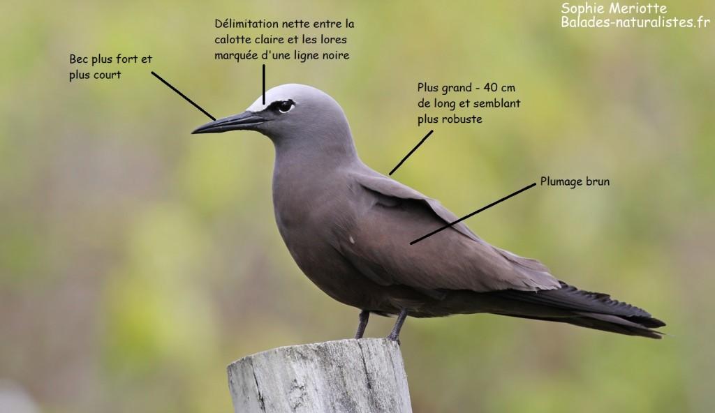 Critères d'identification du noddi brun