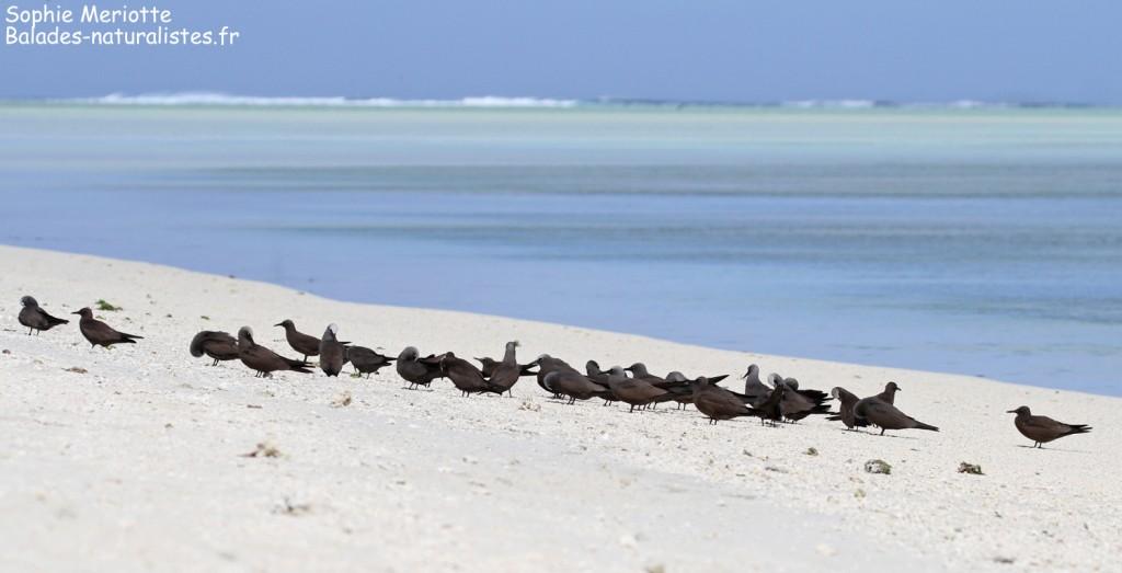 Groupe de noddi brun, Ile aux Cocos, Rodrigues