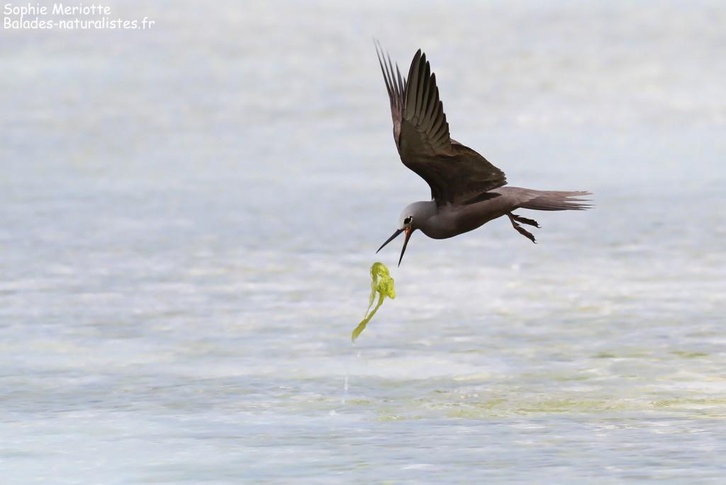 Noddi marianne, à la pêche aux algues ! Ile aux Cocos, Rodrigues