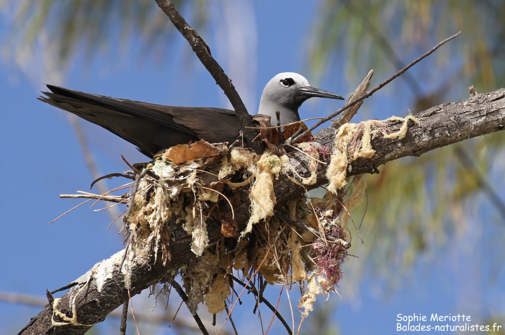Noddi marianne sur son nid, Ile aux Cocos, Rodrigues
