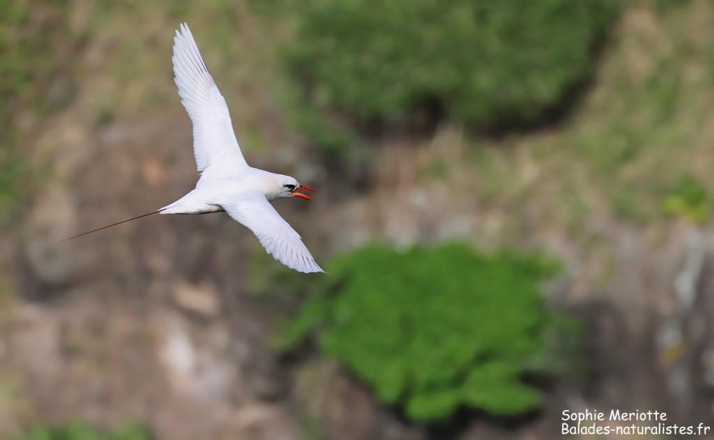 Phaéton à brins rouges, Cascade Victoire