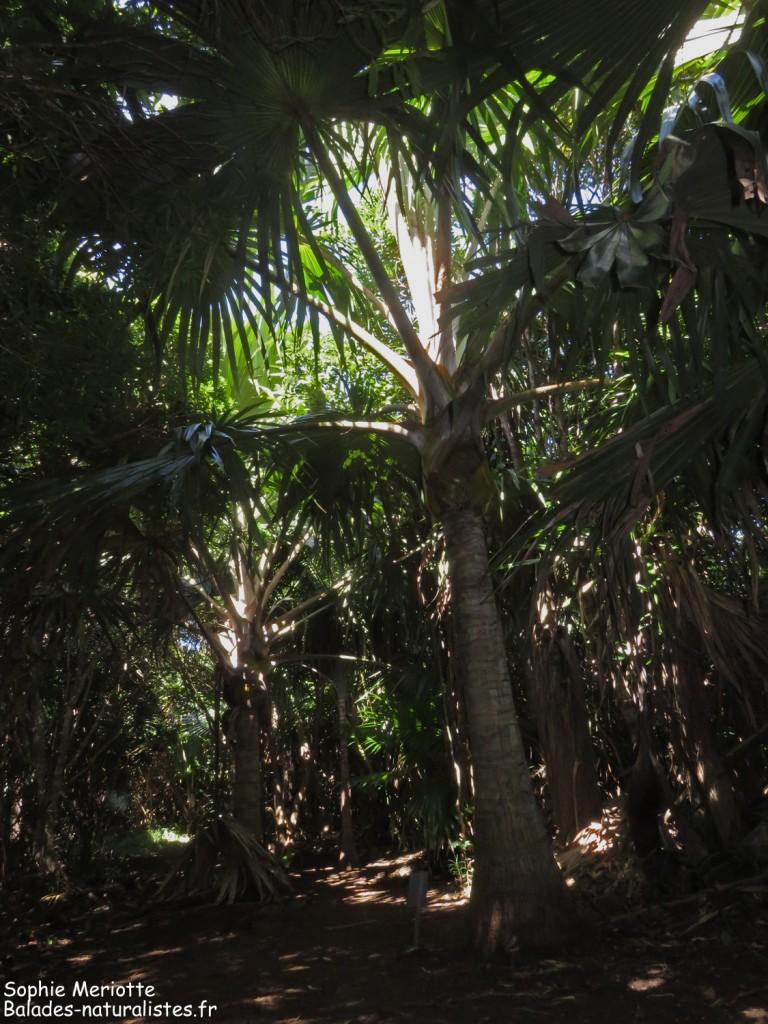 Latanier jaune, endémique, Réserve de Grande Montagne