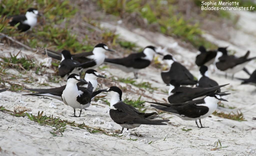 Groupe de Sterne fuligineuse, Ile aux Cocos, Rodrigues