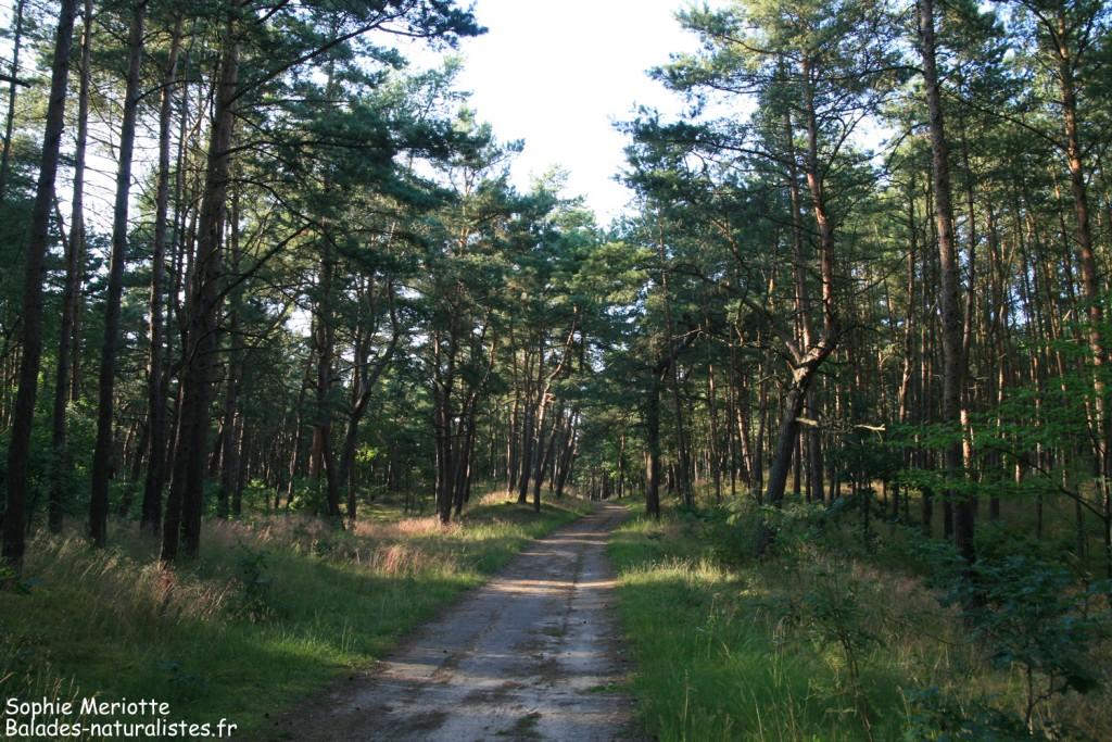 Sentier dans la pinède du parc de l'embouchure de la Vistule
