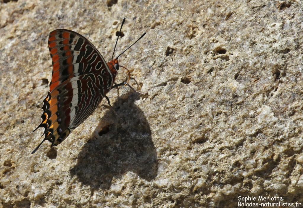 Pacha à deux queues, Campomoro