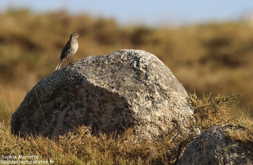 Pipit spioncelle sur un bloc de granite