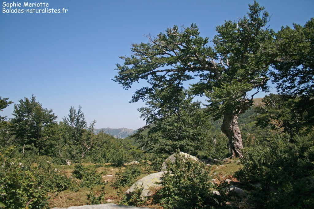 Hêtraie de la vallée de Marmano
