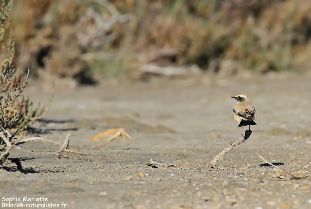 Traquet du désert aux Enfores de la Vignolle
