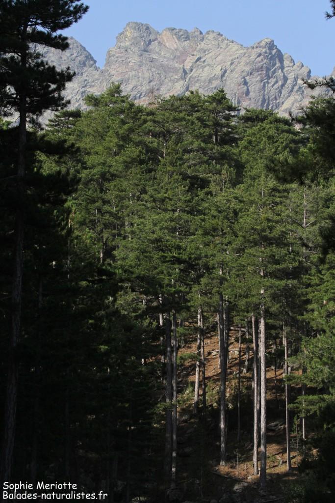 Les pins Laricio de la Vallée de l'Asco