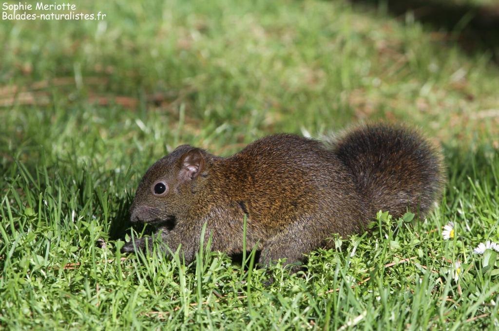 Écureuil à ventre rouge, Cap d'Antibes