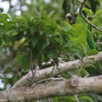 Perruche d'Ouvéa – Ouvea Parakeet – Eunymphicus uvaeensis