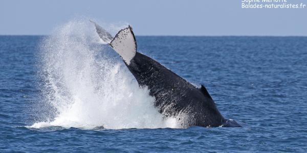 Encore quelques baleines dans le lagon sud de la Calédonie
