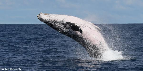 Sortie Whalewatching du 21/07/2018 Une baleine se donne en spectacle