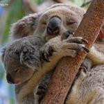 Magnetic Island, l'île aux koalas