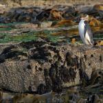 Manchot antipode – Yellow-eyed Penguin – Megadyptes antipodes