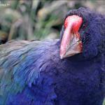 Takahé du Sud – South Island takahe – Porphyrio hochstetteri