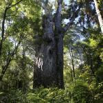 A la découverte des Kauri géants de Waipoua